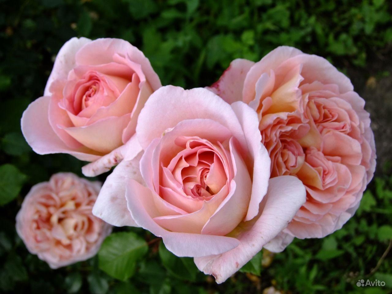 Саженцы роз купить на Зозу.ру - фотография № 1
