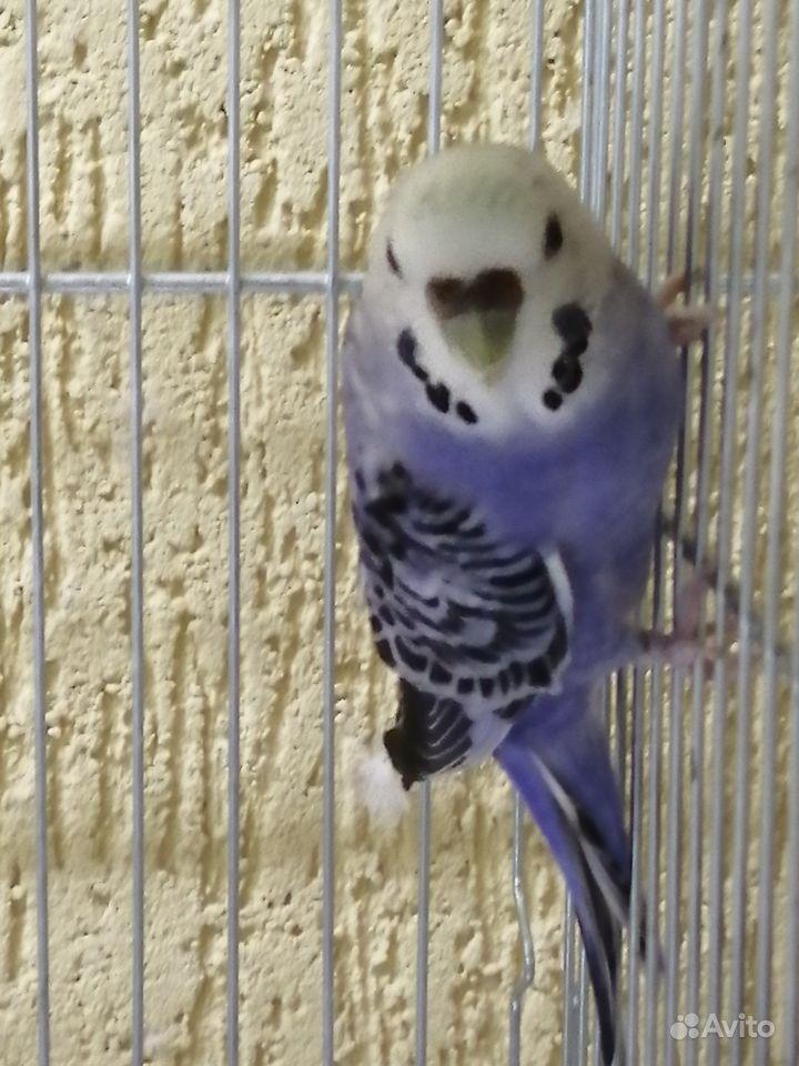 Волнистый попугай редкого окраса