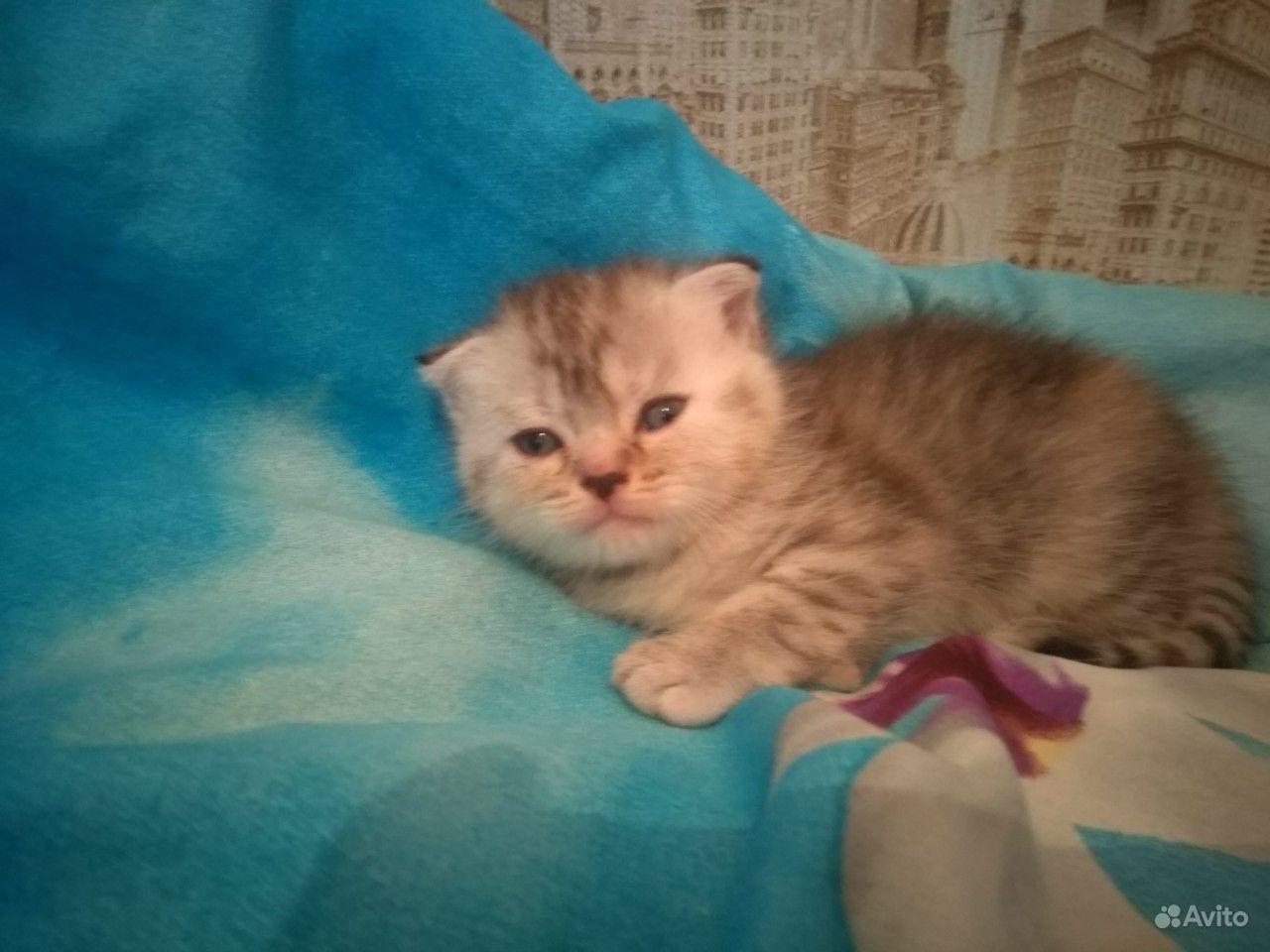 Вислоухие котята. Рождены 2 августа