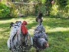 Племенные Цыплята 1-5 мес. Брама, Адлеры, Билефель
