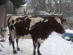 Коровы высокоудойные