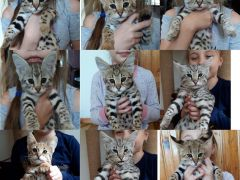 Саванна f1, Лучшие котята