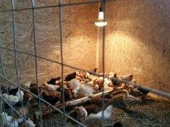 Продам цыплят 3 недельные домашних красные белые ч