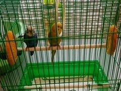 Клетка с попугаями