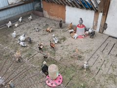 Куры, гуси, утки, индюки голуби
