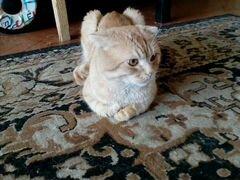 Кот британский веслоухий