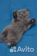 голубой британец котёнок фото #11