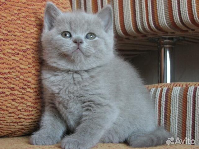 Фото британских кошек и котят. Голубые британские котята ...