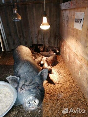 Pigs karmaly