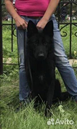 Немецкая овчарка кобель на вязку 89832427269 купить 1