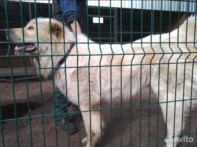 Горшая пиренейская собака в добрые руки, близкий м купить 9