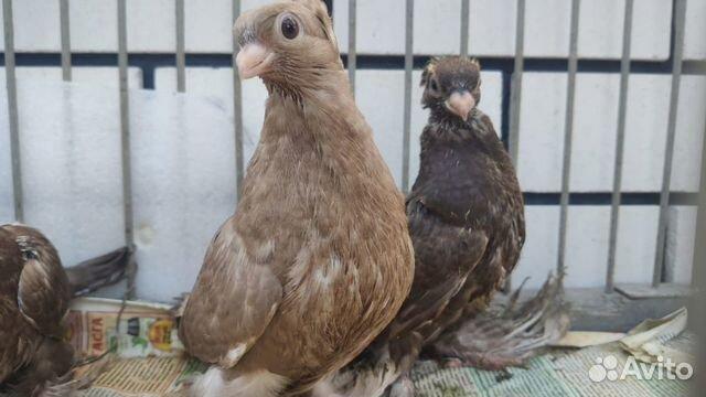 Pigeons 89066881568 buy 3