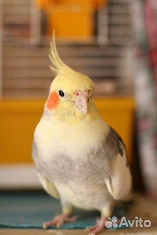 Попугай корелла  89800157867 купить 4