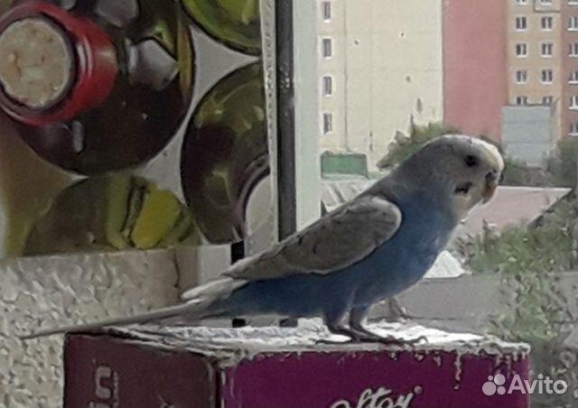 Продам мальчика попугая  89173605507 купить 1