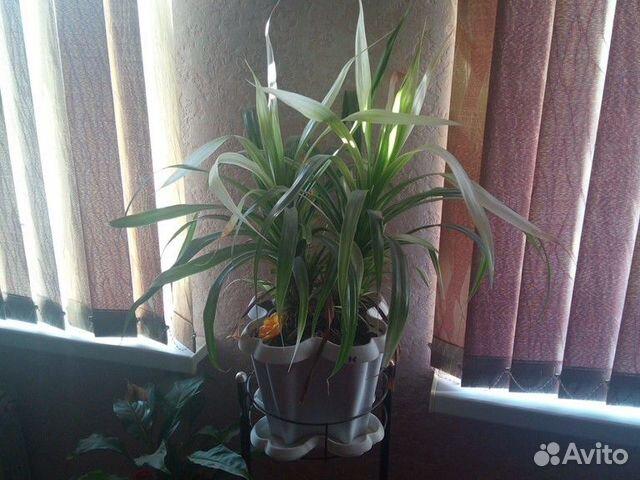 Домашние цветы  89050600151 купить 5