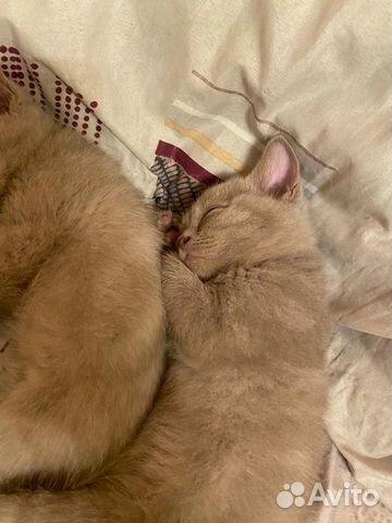Шотландские котята  89235252330 купить 3