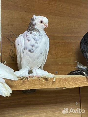 Узбекские голуби  89134552444 купить 3