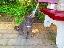 Найден кот-метис британца с белым пятнышком