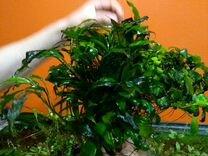 Анубиас узколистный и другие растения