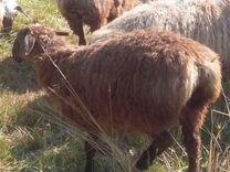 Живые бараны овцы ягнята халяль