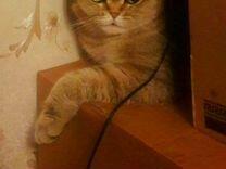 Шотладские котята