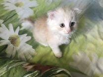 Котята вислоухие (возраст 5 недель) мальчики