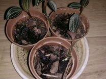 Орхидея лудизия (детки)