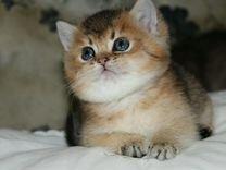 Золотые тиккированные котята изумрудные глазки