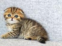 Шотландские котята эксклюзивных окрасов