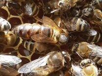 Матки, пчелы карпатской породы (племенные)