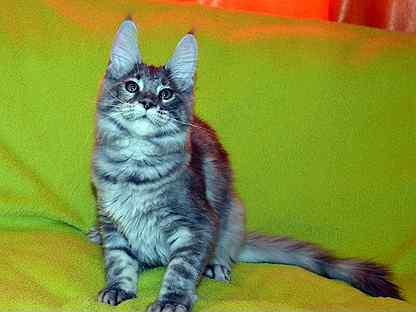 Мейн кун,крупная красотка Лиля и др.котята