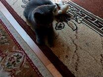 Молодой котенок британка 3 месяца очень игровая
