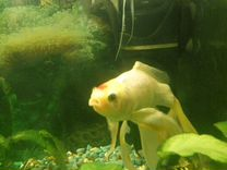 Рыба Скалярия (самец взрослый) Комета