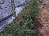Живой забор из ели сосны посадка туя клен дуб