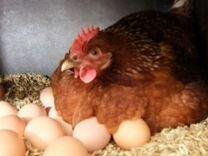 Диетические домашние куриные яйца