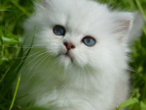 Котята британская шиншилла
