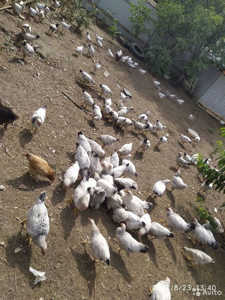 Курицы и петухи  89225683963 купить 4