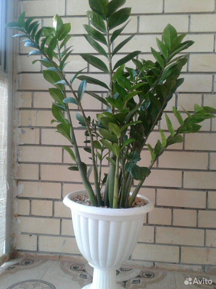 Замиокулькас,доллоровое дерево