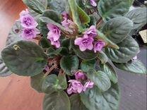 Сенполии — Растения в Рязани