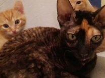 Котята от корнишрекс