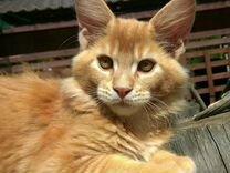 Красный тикированный котик мейн кун